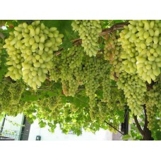 Grapes(Angur)(Product Code-DC2)